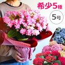 母の日 プレゼント あじさい 5号鉢 花 鉢植え 早割 ギフト 珍しい 紫陽花 希少 ボリューム 鉢花 花鉢 ダンスパーティ…
