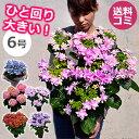 母の日 鉢植え あじさい(アジサイ)6号鉢花の母の日ギフト 紫陽花 プレゼント 鉢花 花鉢 ダンスパーティー等 送料無料 …