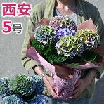 アジサイ・西安ピンク5号鉢秋色虹色あじさい紫陽花シーアン