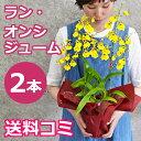 お彼岸にも オンシジュームの鉢植え(2本立 花鉢 鉢花)のプレゼント ギフトを 黄色い蘭(オンシジウム)送料無料