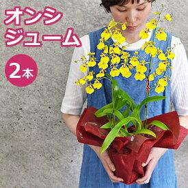 オンシジュームの鉢植え2本立 花 敬老の日 ギフト プレゼント おじいちゃん おばあちゃん 花鉢 鉢花 蘭 ラン オンシジウム 送料無料