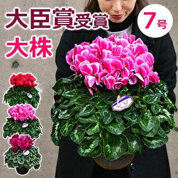 【シクラメン】7号鉢(鉢植え)お歳暮 誕生日 クリスマス プレゼント ギフト 鉢花 送料無料