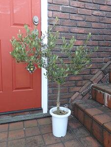 オリーブ ガーデニング ガーデン 苗木 ギフト『オリーブの木・ネバティロブランコ・7号』同梱ご希望でも、別途送料が発生致します。沖縄、離島への配送はお受けできません。