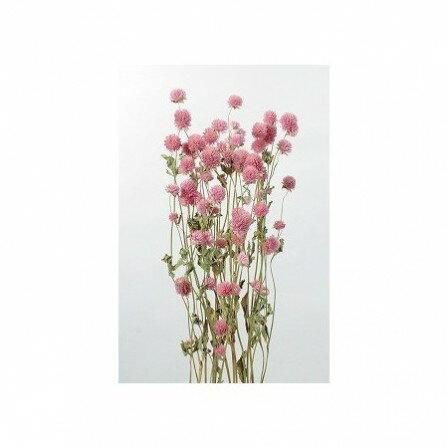 即日 【ドライ】大地農園/千日紅 約35g ピンク/10120-100《 ドライフラワー ドライフラワー花材 センニチコウ(千日紅) 》