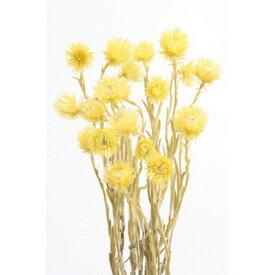 即日 【ドライ】大地農園/ミニシルバーデージー 25g エンジェルイエロー/32001-540《 ドライフラワー ドライフラワー花材 シルバーデージー 》