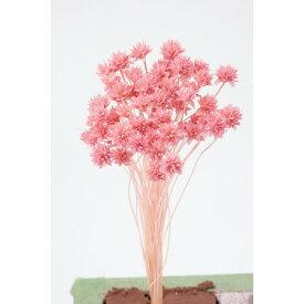 即日 【ドライ】大地農園/ミニコーンフラワー 20g ピンク/30200-101《 ドライフラワー ドライフラワー花材 コーンフラワー 》