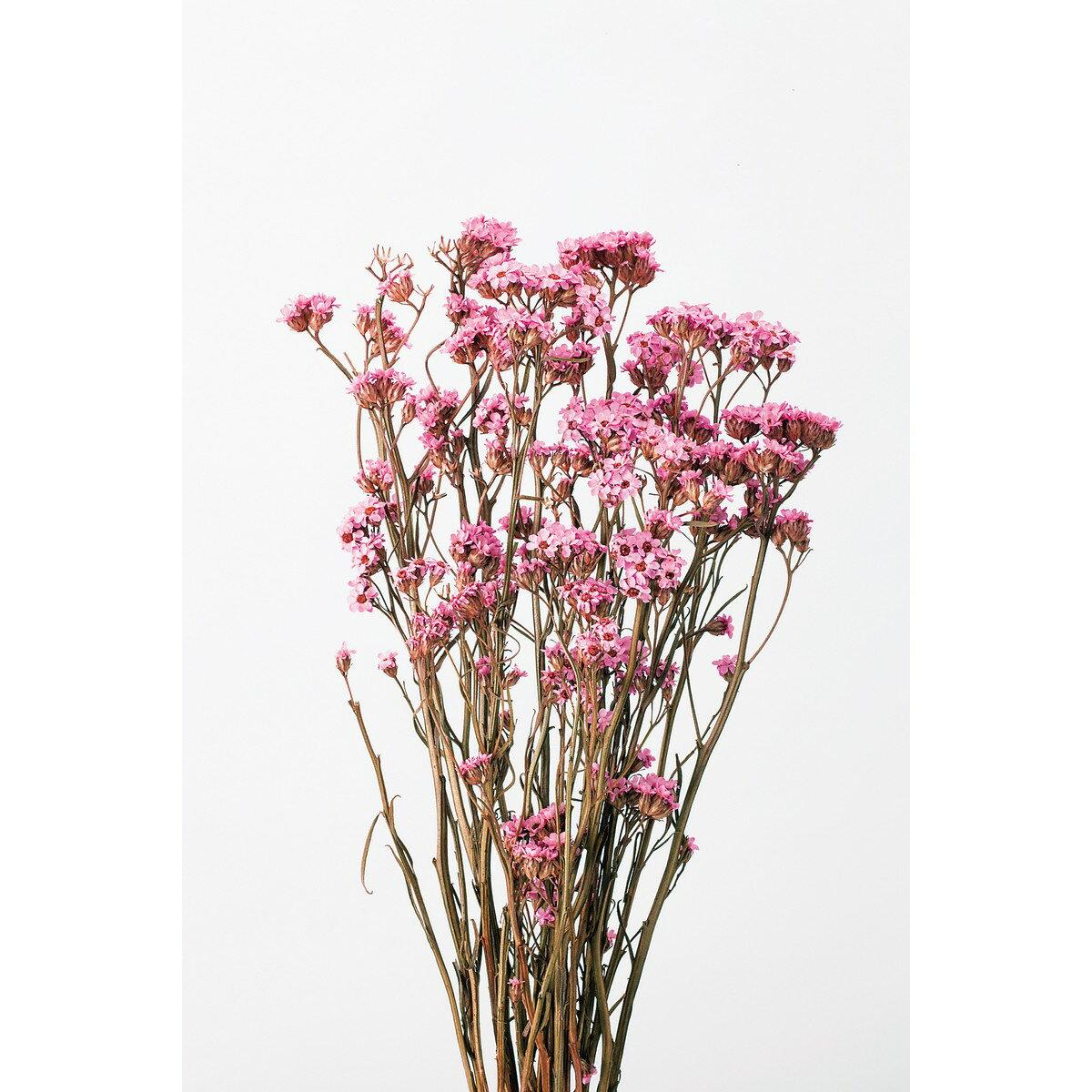 大特価 即日 【ドライ】大地農園/SAデージー 濃ピンク 約30g/32043-190《 ドライフラワー ドライフラワー花材 シルバーデージー 》