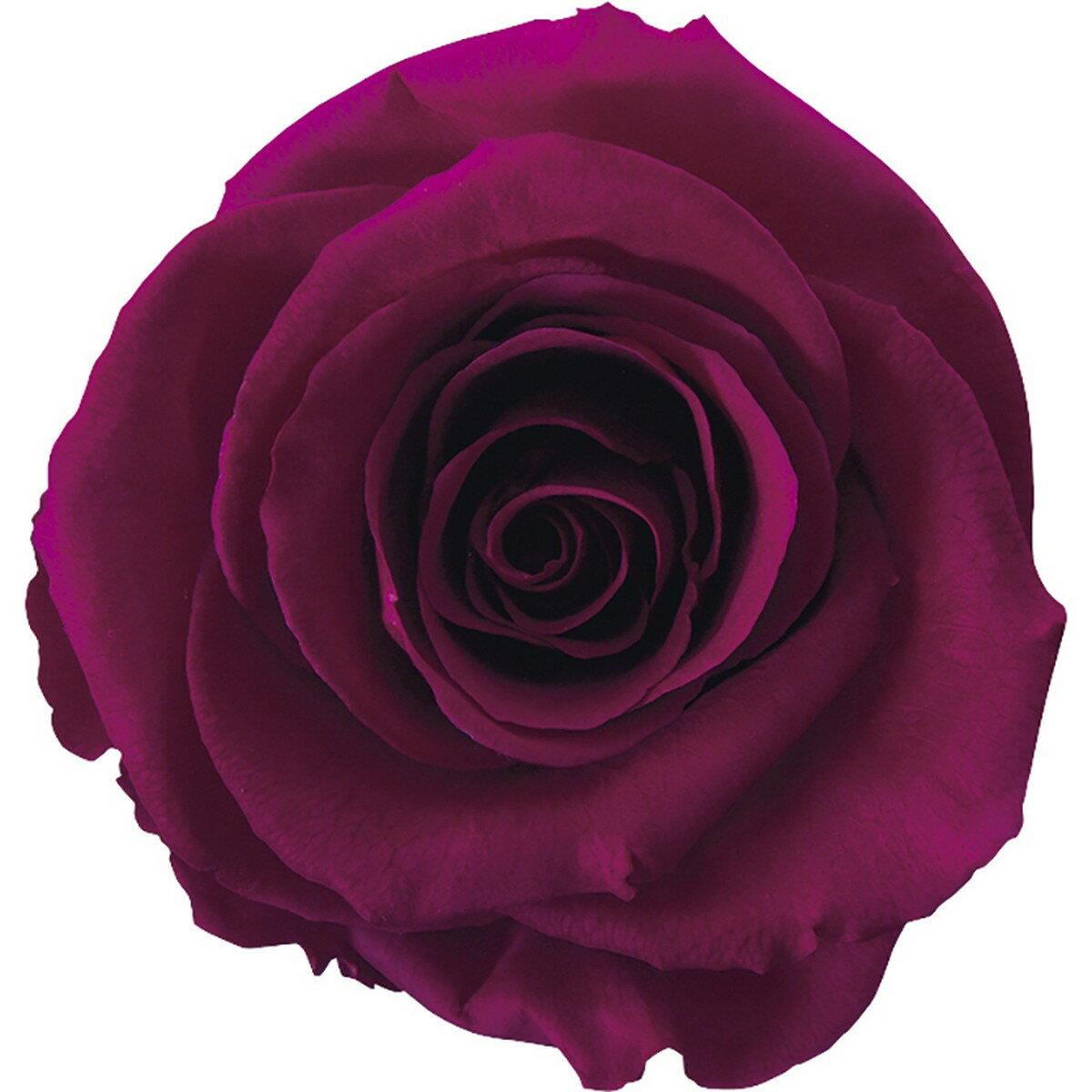 【プリザーブド】アモローサ/ティエラ 6輪 リッチプラム/1101-52【01】【01】【取寄】《 プリザーブドフラワー プリザーブドフラワー花材 バラ(ローズ) 》