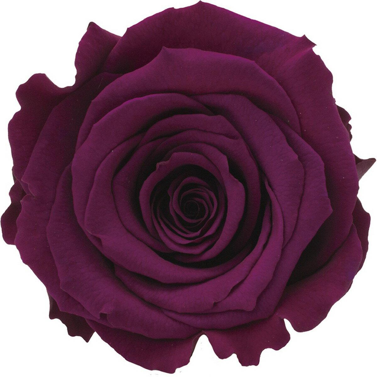 【プリザーブド】アモローサ/ルーナ 6輪 リッチプラム/1115-52【01】【01】【取寄】《 プリザーブドフラワー プリザーブドフラワー花材 バラ(ローズ) 》