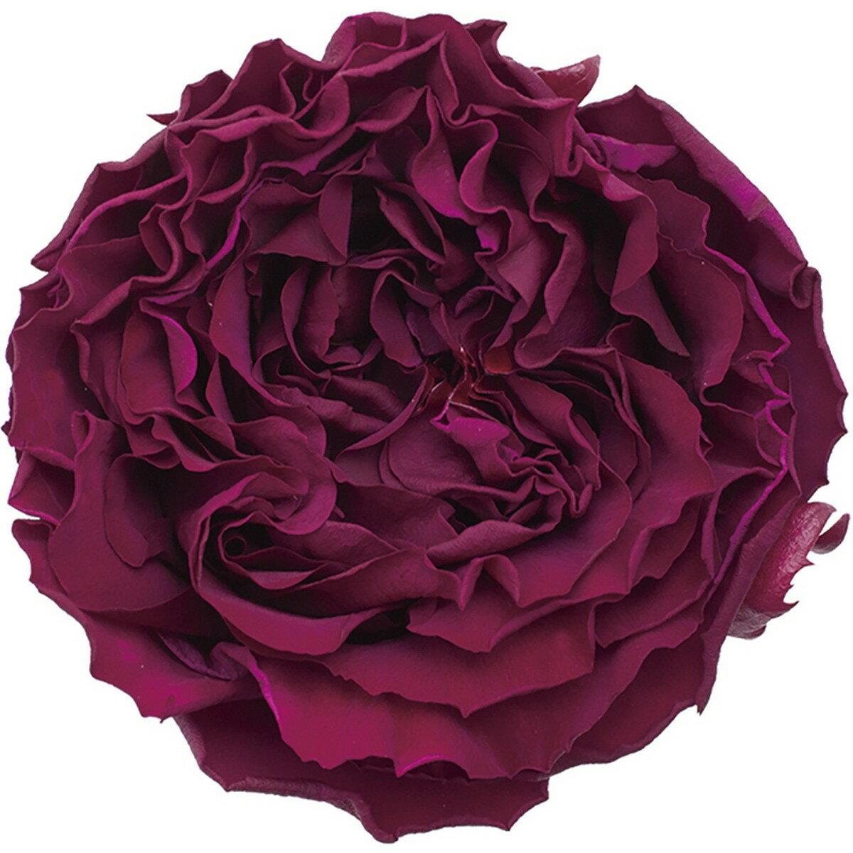 【プリザーブド】アモローサ/カルメン 3輪 リッチプラム/1114-52【01】【01】【取寄】《 プリザーブドフラワー プリザーブドフラワー花材 バラ(ローズ) 》