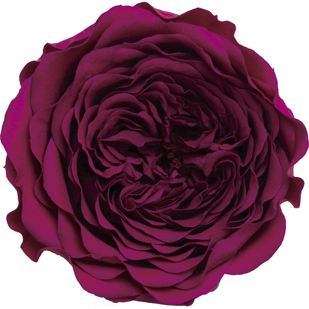 【プリザーブド】アモローサ/クララ 6輪 リッチプラム/1113-52【01】【01】【取寄】《 プリザーブドフラワー プリザーブドフラワー花材 バラ(ローズ) 》