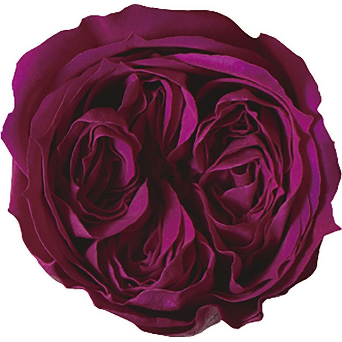 【プリザーブド】アモローサ/リンダ 1輪 リッチプラム/1108-52【01】【01】【取寄】《 プリザーブドフラワー プリザーブドフラワー花材 バラ(ローズ) 》