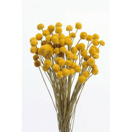 【ドライ】大地農園/ボタンフラワー 22g ゴールデンイエロー/30160-520《 ドライフラワー ドライフラワー花材 ボタンフラワー 》