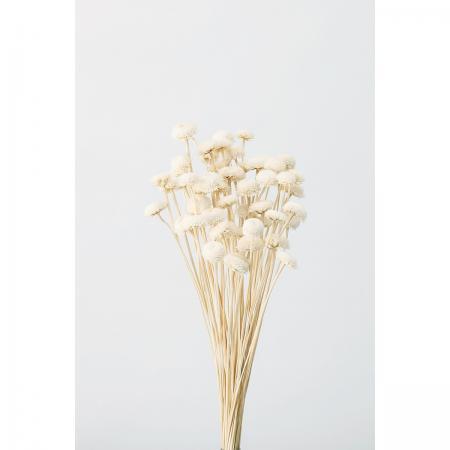 【ドライ】大地農園/ゴールデンボタン 白 約20g/30040-011《 ドライフラワー ドライフラワー花材 ボタンフラワー 》