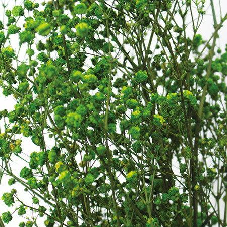 即日 【プリザーブド】ヴェルモント/カスミ草 約25g入り ハーブグリーン/13703《 プリザーブドフラワー プリザーブドフラワー花材 カスミ草 》