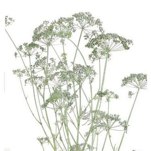 【プリザーブド】大地農園/イタリアンパセリ ウオッシュホワイト 約30g/03312-012【01】【01】【取寄】《 プリザーブドフラワー プリザーブドグリーン 葉物 》