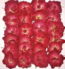 即日 【ドライ】押し花 ミニバラ 24輪 赤/1-119-Rドライフラワー 押し花 手作り 材料