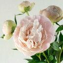 【生花】芍薬 滝の粧(たきのよそおい)ごく淡いピンク::※開花について説明お読み下さい。[10本]