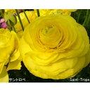 【生花】ラナンキュラス サントロペ(黄色):JA高千穂[10本]