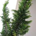 【生花】クジャクヒバ(枝物)1M程度 ::※葉色は時期により異なる[5本]