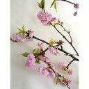 【生花】八重桜(1m程度)[5本]