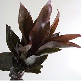 【生花】ドラセナ パープルコンパクタ(55cm)[5本]