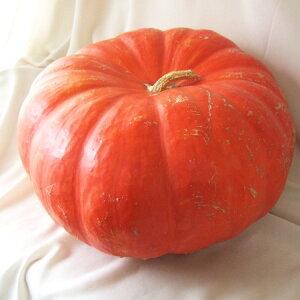 【生花/即納】かぼちゃ ルージュ・ヴィ・デタンプ(オレンジ・大型) 3L[1個]※届日限定:10/15以降