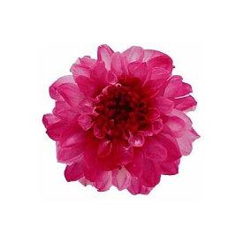 【プリザーブド】Vermont ジャノメダリア 12(フラミンゴ)/29271【01】【01】【取寄】《 プリザーブドフラワー プリザーブドフラワー花材 ダリア 》