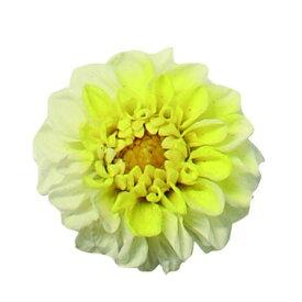 【プリザーブド】Vermont/ジャノメダリア カナリア 12輪/52【01】【01】【取寄】《 プリザーブドフラワー プリザーブドフラワー花材 ダリア 》