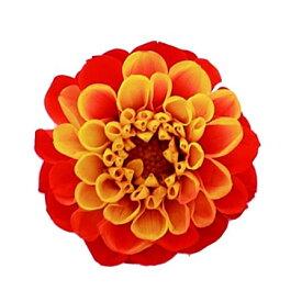 即日 【プリザーブド】Vermont/ジャノメダリア サフランオレンジ 12輪/50《 プリザーブドフラワー プリザーブドフラワー花材 ダリア 》