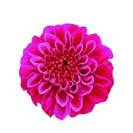 【プリザーブド】Vermont/ジャノメダリア ピンクハーモニー 12輪/54【01】【01】【取寄】《 プリザーブドフラワー プリザーブドフラワー花材 ダリア 》