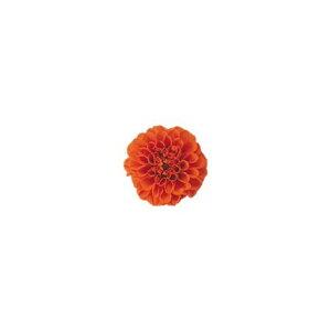 即日 【プリザーブド】ヴェルモント/プチダリア ブライトオレンジ 12輪入/29205