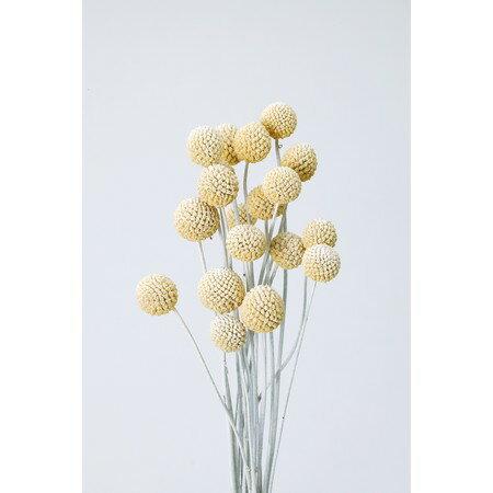 即日 【ドライ】大地農園/ビリーボタン・サイズミックス 約15本 ウオッシュホワイト/40292-012《 ドライフラワー ドライフラワー花材 ボタンフラワー 》