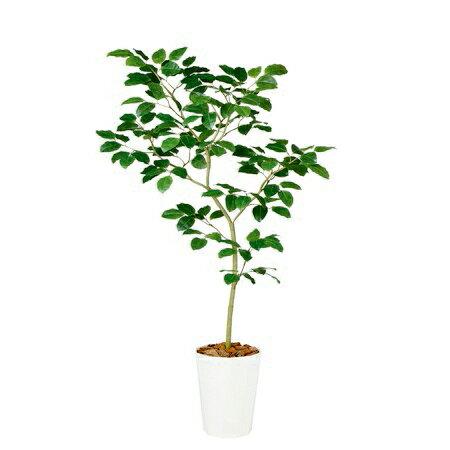 【直送】【人工観葉植物】ベンガルボダイジュFST180(器タイプ:懸崖9号)99115※画像は器タイプ(RP)器要確認【07】《 造花(人工観葉植物) 人工観葉植物「は行」 ボダイジュ 》