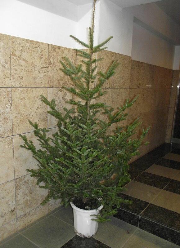 本物のもみの木(モミの木/樅の木)170cm♪クリスマスツリー