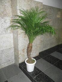 観葉植物 フェニックス・ロベレニー 135