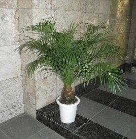 観葉植物 フェニックス・ロベレニー 110