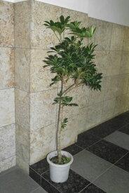 シェフレラ(ホンコン) 幹は木