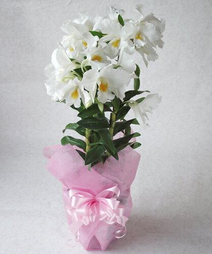 洋蘭「フォルミデーブル」母の日花ギフト