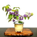 【70代女性】喜寿のお祝いに!育てやすいお花の鉢植えギフトのおすすめは?