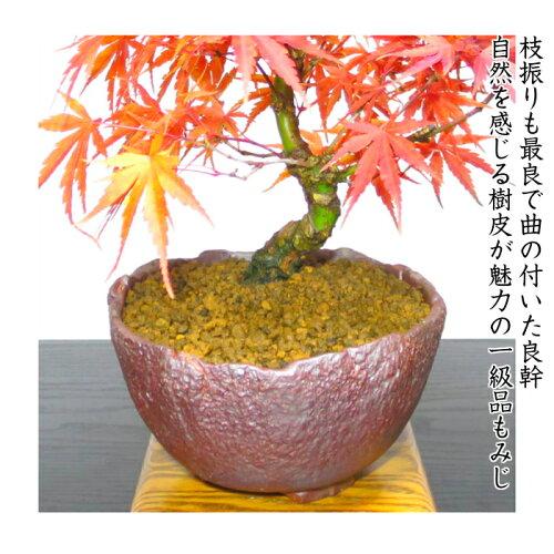 【秋の紅葉盆栽】【もみじ盆栽】荒皮もみじ小品盆栽