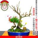 盆栽 100以上の蕾付き花梅 玉牡丹豪華松竹梅寄せ植え 現品一点物 縁起づくしの創作日本庭園を飾る Wプレゼント特典《…