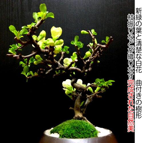 【長寿梅ミニ盆栽】【縁起物盆栽】【お祝いギフト盆栽】長寿梅盆栽