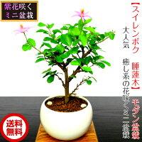 当店一押し花物盆栽癒しの盆栽睡蓮木(スイレンボク)ミニ盆栽
