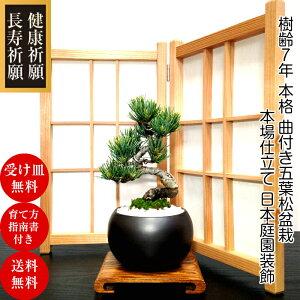盆栽 松 樹齢7年 曲付き太幹 高松五葉松盆栽 Wプレ...