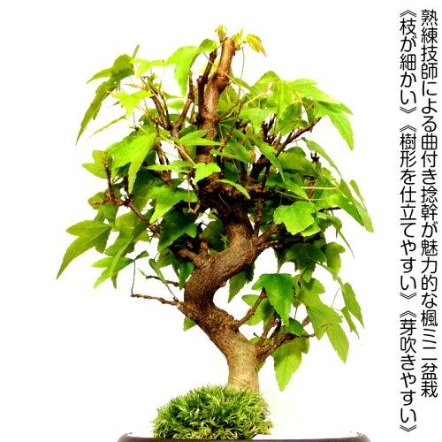 盆栽特選もみじ盆栽一年間通して色彩豊かな表情初出荷樹齢3年出猩々もみじ盆栽