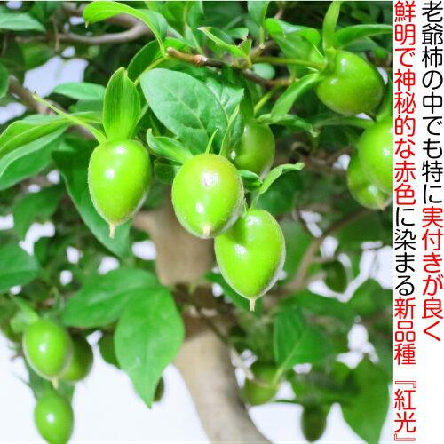 【誕生日祝い盆栽】【老爺柿盆栽】【実物盆栽】【敬老の日】ローヤ柿盆栽