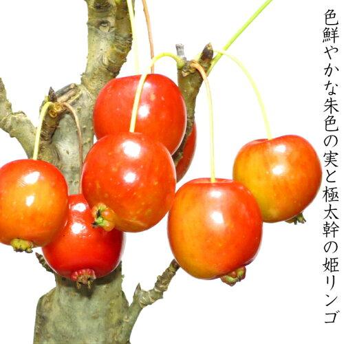 盆栽【花が咲く盆栽】【出産祝い盆栽】【風水的開運盆栽】【ミニ盆栽】姫リンゴ盆栽