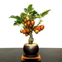 【花が咲く盆栽】【出産祝い盆栽】【風水的開運盆栽】【ミニ盆栽】姫リンゴ盆栽