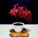 盆栽 南天 2本立ちお多福南天 おかめ南天 古来からの縁起物南天【樹齢3年 紅葉盆栽 鮮やかな深紅色の葉】【盆栽 盆栽…
